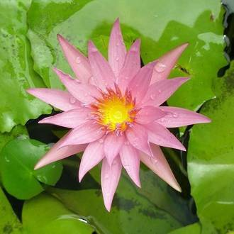 Water Lily - Tropical
